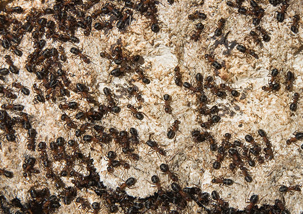 Mound-Building-Ant-3